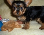 Broadminded Teacup Yorkshire Terrier Puppies for sale ready now2085573051