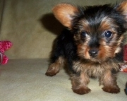 Breezy Teacup Yorkshire Puppies for rehoming akc 2085573051