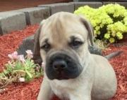 Bullmastiff Puppies For Sale fefrte