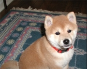 Chivalrous Shiba Inu Puppies Ready Now