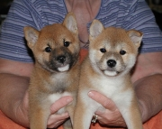 Bounteous Shiba Inu Puppies Ready Now