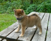 Breezy Shiba Inu Puppies For Good Homes
