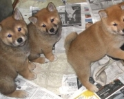 Captivating Shiba Inu Puppies Available