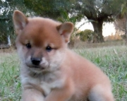 Composed Shiba Inu Puppies For Sale