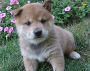 Congenial Shiba Inu Puppies For Sale