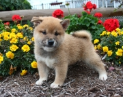 Congruent Shiba Inu Puppies For Sale