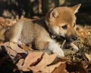 Commodious Shiba Inu Puppies