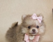 Changeless Teacup Pomeranian Puppies