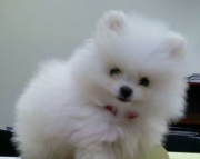 Devout Teacup Pomeranian Puppies