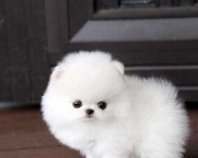 Erudite Teacup Pomeranian Puppies