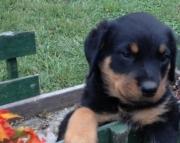 Reg Rottweiler Puppies For Sale efg