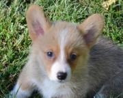 Charming Corgi Puppies fgwx