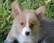 Charming Corgi Puppies rfw