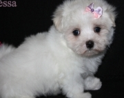 Papered Maltese Puppies For Sale