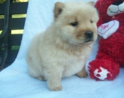 Nice Chow Chow Puppies Now Ready
