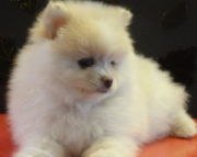 Beautiful Pomeranians Puppies for Sale