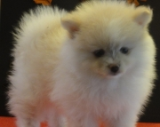 agreeable Pomeranians Puppies For Sale