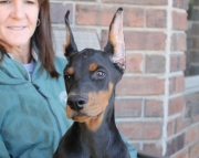 ambitious Doberman Pinscher Puppies Now Available