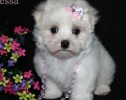 devoted Maltese Puppies For Sale