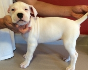 amusing Dogo Argentino Puppies Now Ready