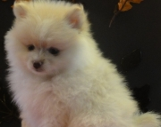gentle Pomeranians Puppies For Sale