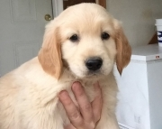 cooperative Golden Retriever Puppies For Sale
