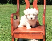 courageous Maltese Puppies For Sale