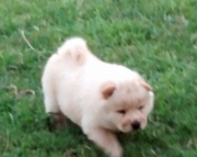 charming Chow Chow Puppies Now Ready