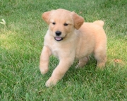 experienced Golden Retriever Puppies For Sale