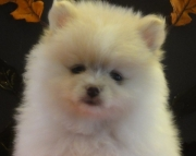 Adorable Pomeranians Puppies For Sale