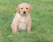 natural Golden Retriever Puppies For Sale