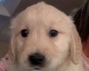 Calm Golden Retriever Puppies For Sale