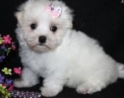 Gentle Maltese Puppies For Sale