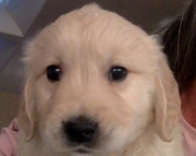 persevering Golden Retriever Puppies For Sale