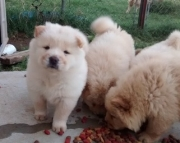 polite Chow Chow Puppies Now Ready