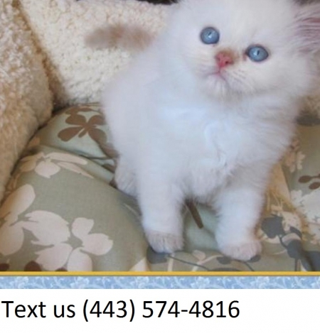 Devoted  Himalayan Kittens  Male/Female Available for Sale.