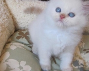 agreeable Himalayan Kittens  Male/Female Available for Sale