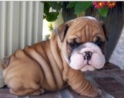 Cherished English bulldog Puppies for a nice home2085573051