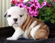 Chichi English bulldog Puppies ready for sale akc2085573051