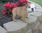 Celestial English bulldog Puppies ready for a new home2085573051