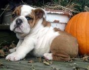 By the numbers English bulldog Puppies for sale akc registered2085573051