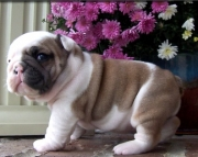 Competent English bulldog Puppies for sale akc vet2085573051