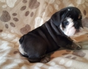 Clear-sighted English bulldog Puppies available for sale akc2085573051