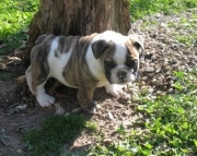 Cerebral Lovely English bulldog Puppies for sale now akc vet2085573051