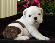 Clearheaded English bulldog Puppies ready now for a new home2085573051
