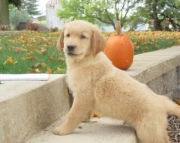 trterb Golden Retriever Puppies For Sale