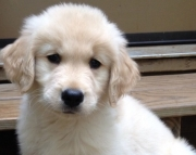 ffhf Golden Retriever Puppies For Sale