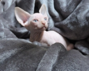 Delighted Sphynx kittens