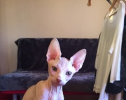 Active Male Sphynx