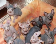 Fascinating Sphynx kittens